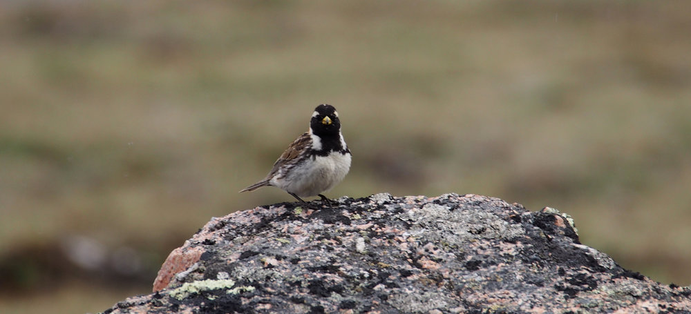 Lapland longspur in its summer breeding grounds. Photo by Fiona Paton FFF