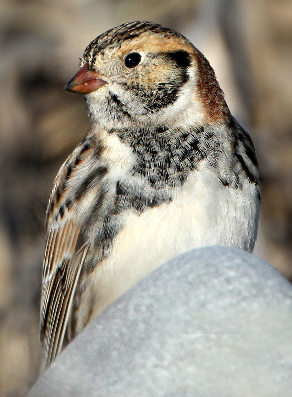 Lapland longspur photo by Nigel, FCC