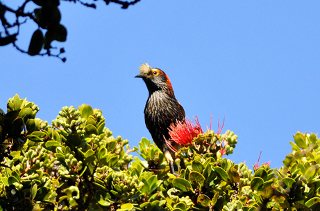 Crested Honeycreeper 'Akohekohe courtesy of Flickr Jim Denny