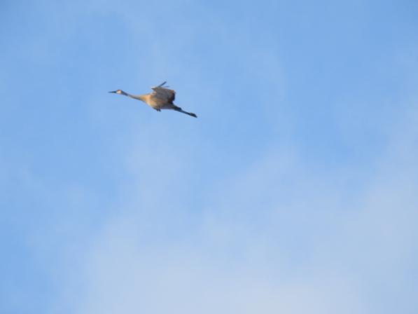 Sandhill crane in flight, by Drew Harry