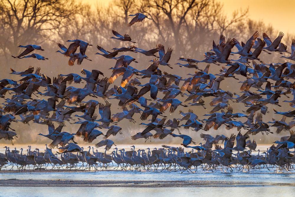 Sandhill cranes at sunrise on the Platte River near Kearney, Nebraska. Photo by Diana Robinson, FCC
