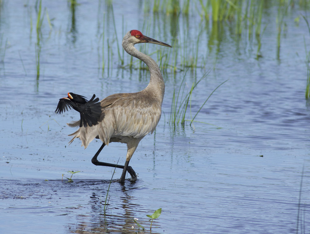 An unamused sandhill crane getting mobbed by a red-winged blackbird. Photo by Arlene Koziol