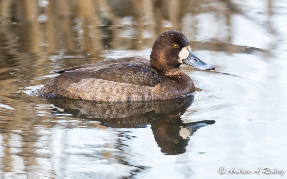 Greater scaup hen, photo by Andrew Reding, FCC
