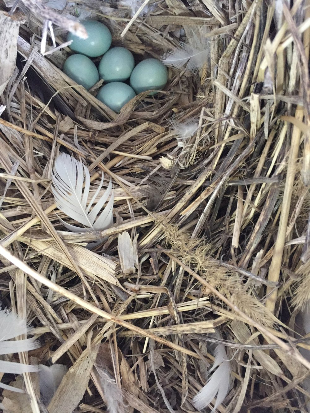 European Starling.  Nest is made of rough grasses & feathers. Eggs are larger than robins. Exotic & invasive.  Remove nest!