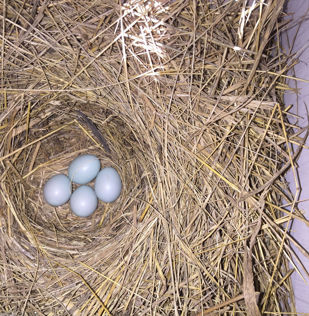 Eastern Bluebird.  Nest is made of fine grasses and often cover wood chips. Eggs are light blue. Native.  Do not remove.