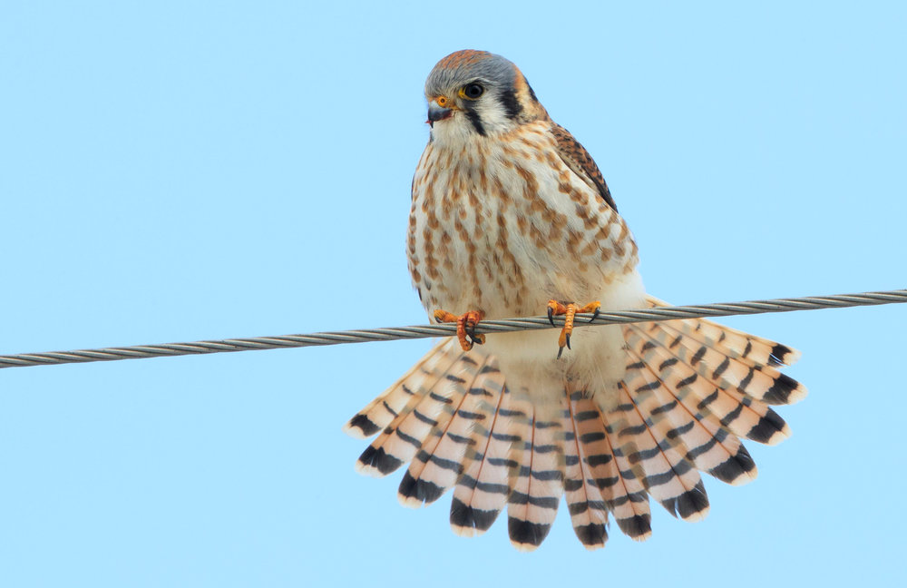 A male American kestrel sits on a wire in search of food. Photo by Jim Stewart