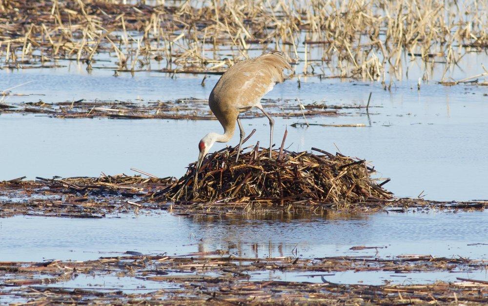 Sandhill crane building a nest at Goose Pond, April 8, 2019. Photo by Arlene Koziol
