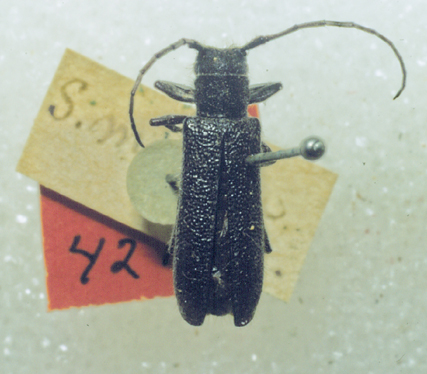 Holotype of a longhorn beetle species, Saperda moesta , from the type collection of the Harvard Museum of Comparitive Zoology.