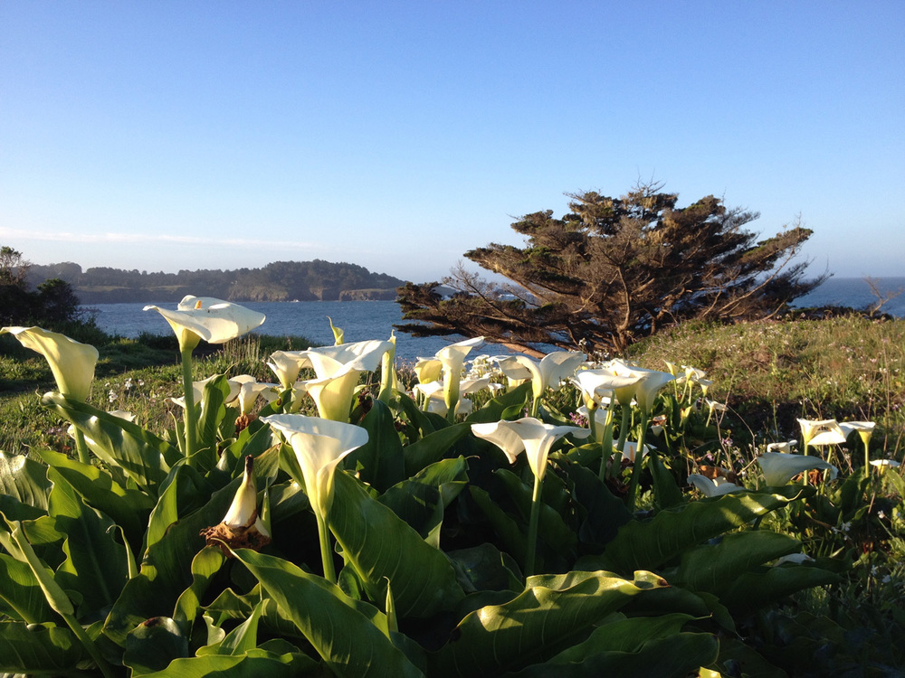 mendocino-lily-view.jpg