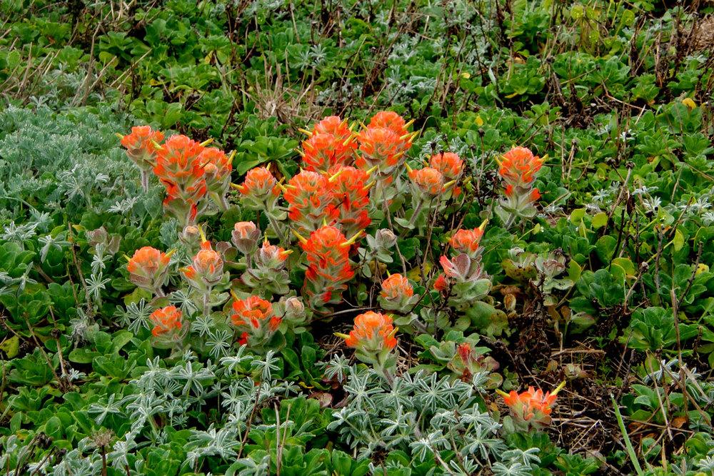 flora-mendocino-coast-indian-paintbrush.jpg