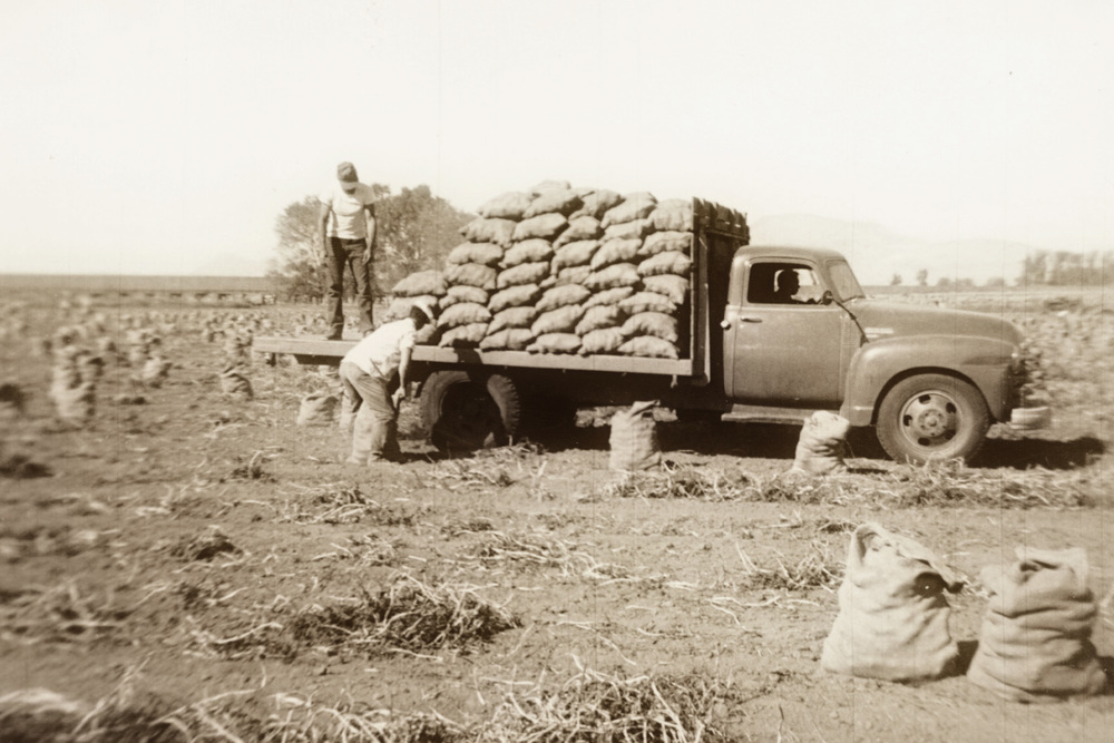 L WW Thompson Farm sacking potatoes.jpg
