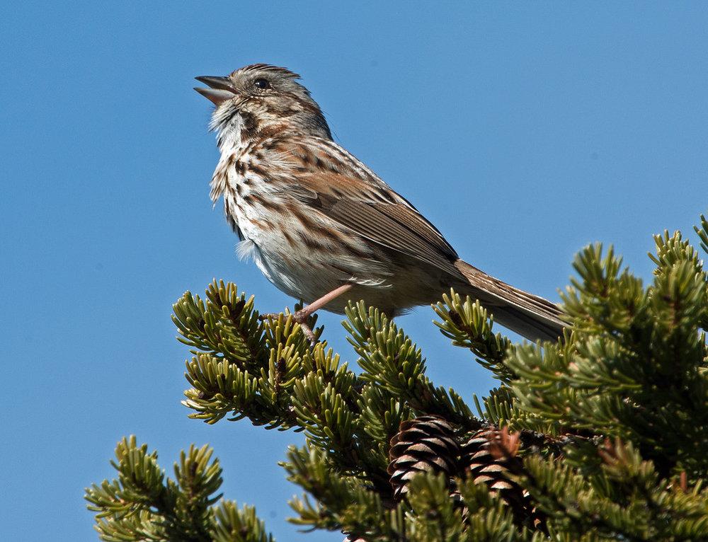 Sparrow 01.jpg