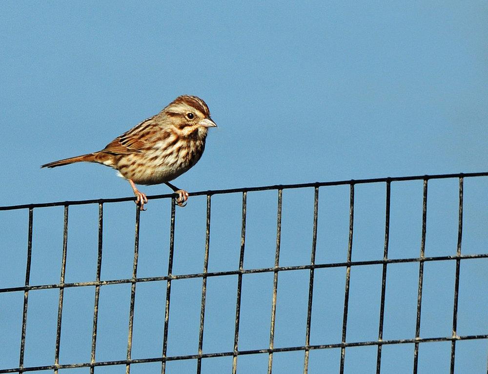 Sparrow 02.jpg