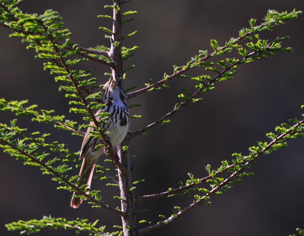 Sparrow 03.jpg