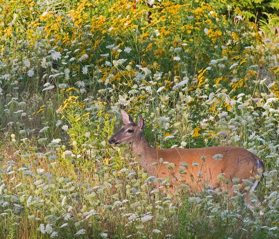 Deer 01.jpg
