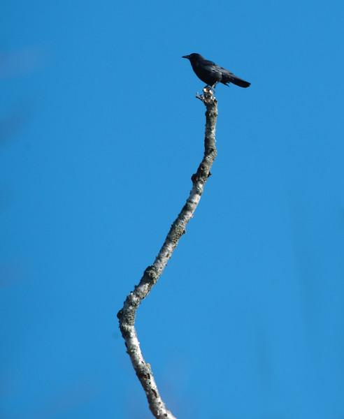 Crow 03.jpg