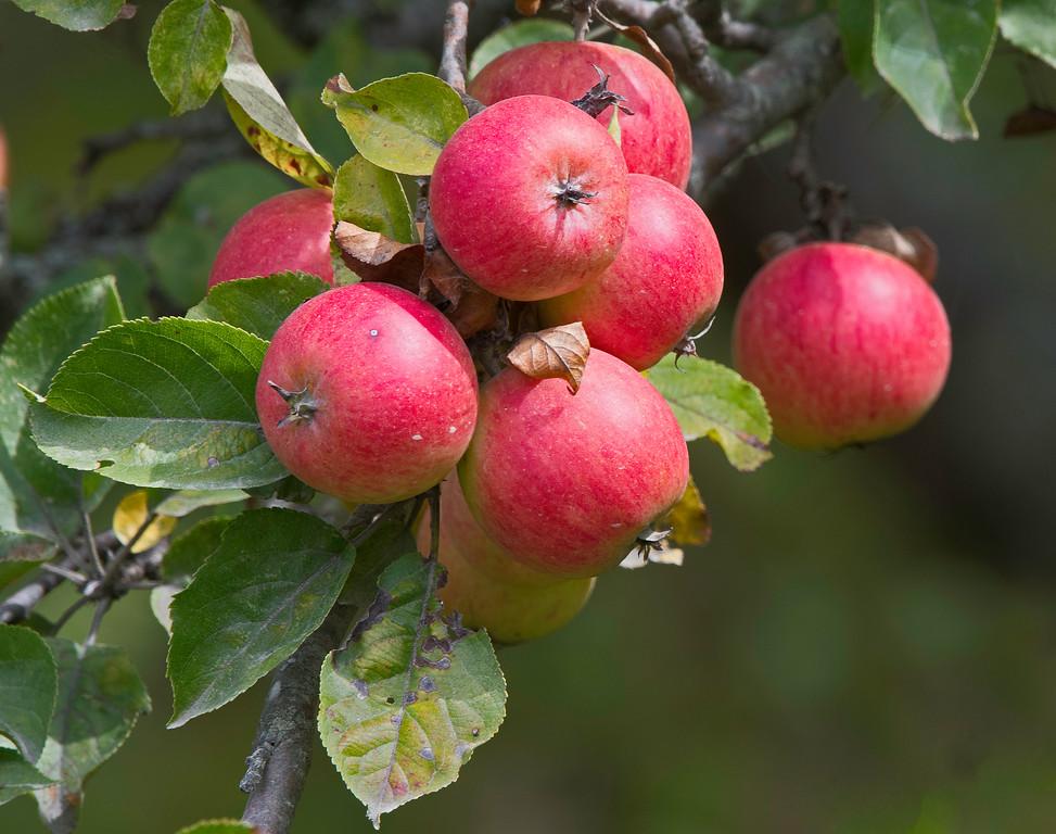 Apple 02.jpg