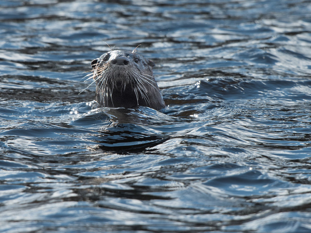 Otter 01.jpg
