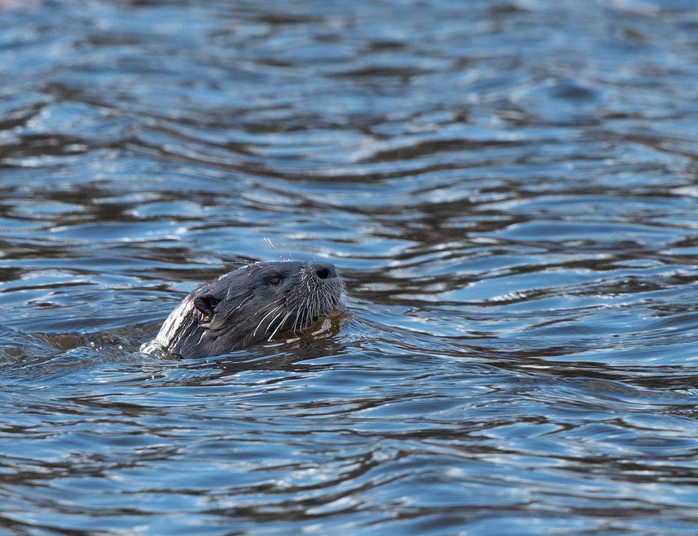 Otter 02.jpg