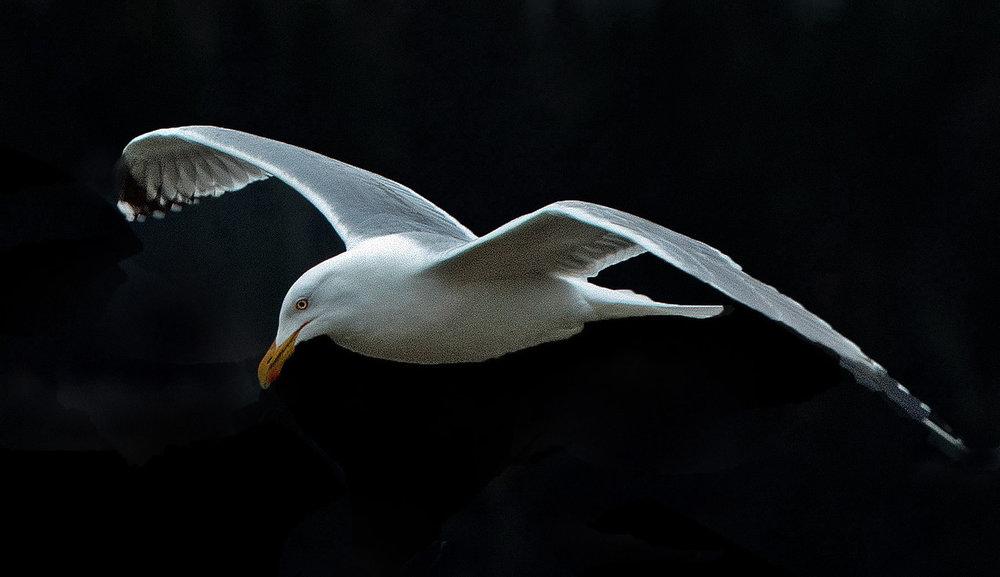 Gull 01.jpg
