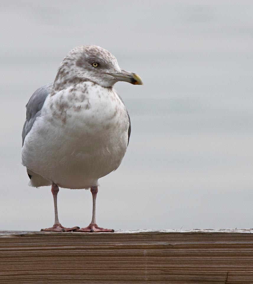 Gull 02.jpg