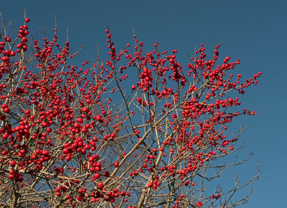 Berry 02.jpg