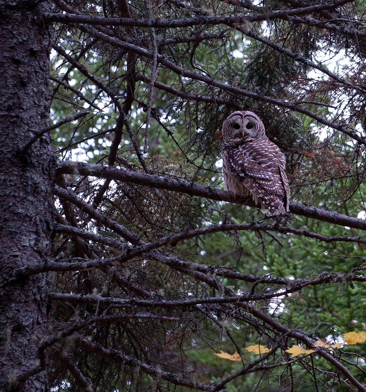 Owl 02.jpg