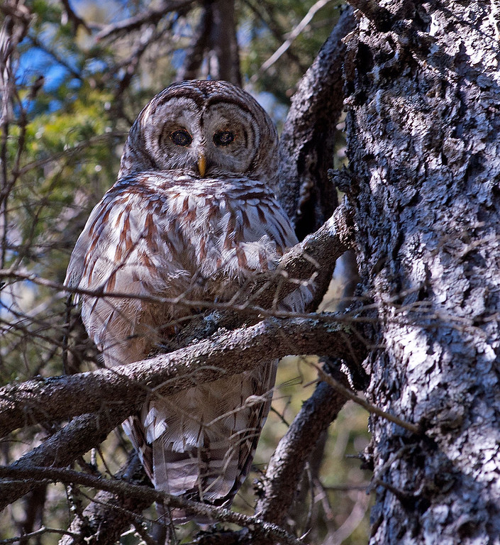 Owl 01.jpg