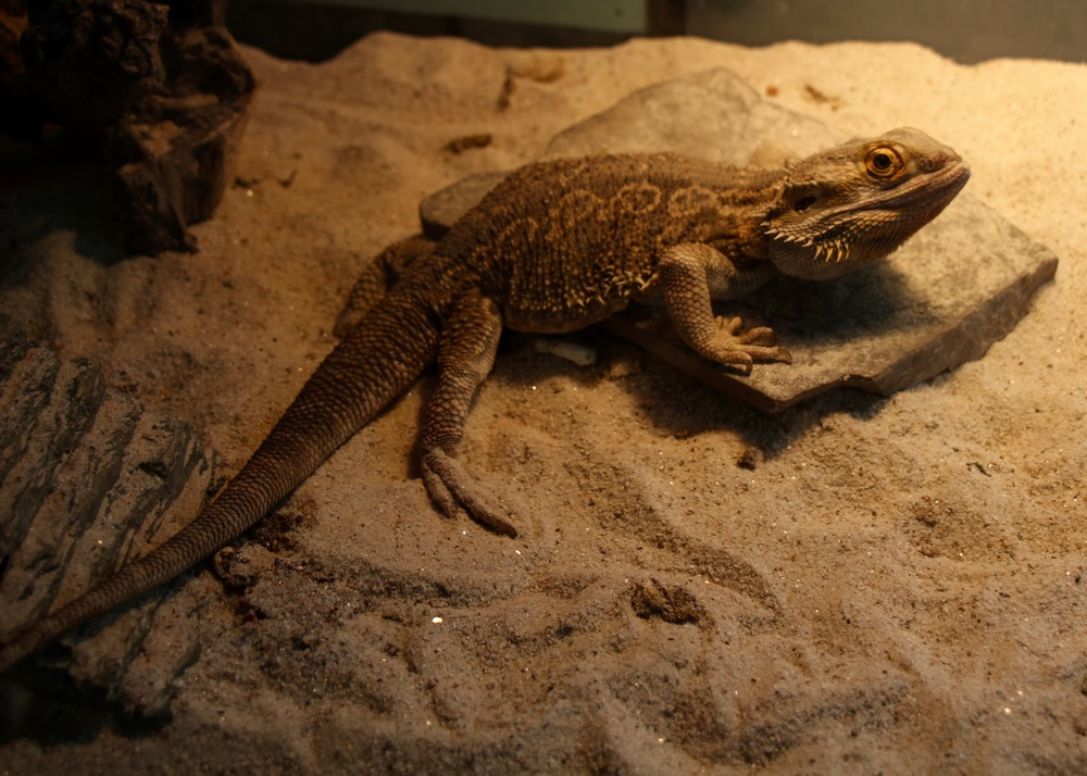 Monti, the bearded dragon who lives in P2