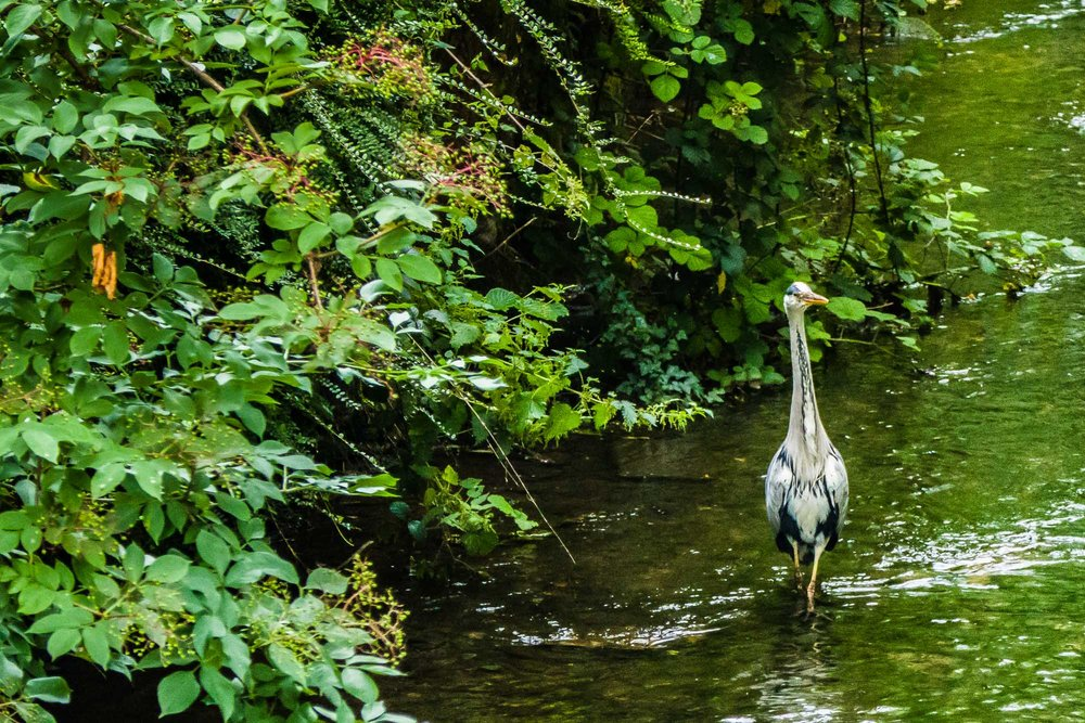 Heron in Stream