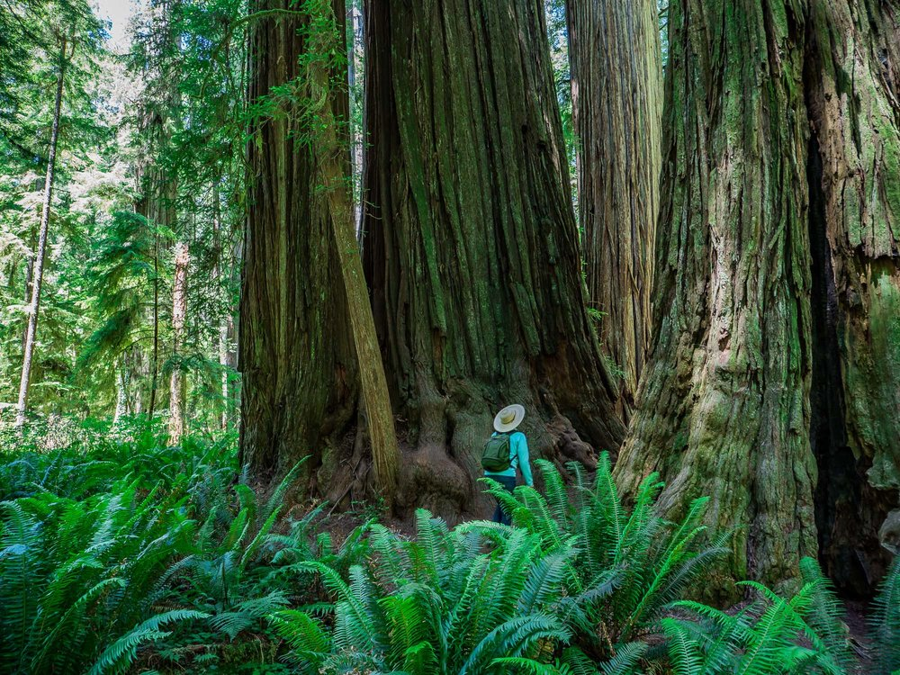 Redwoods - Land of Giants