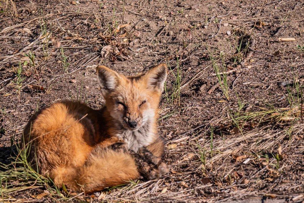 Frontyard Fox