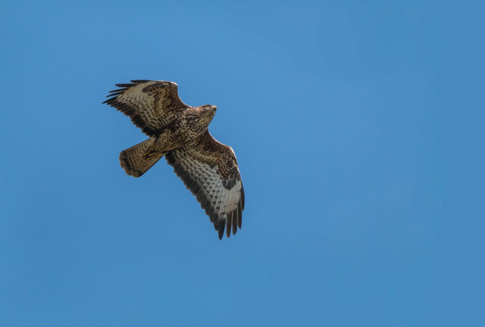 Hunting Buzzard