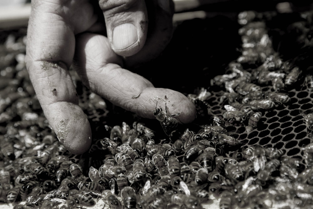 Bees Main EditedBW