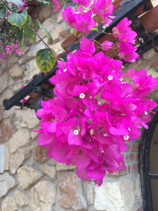 Bougainvillea. Photo/Laura Lerch Horst