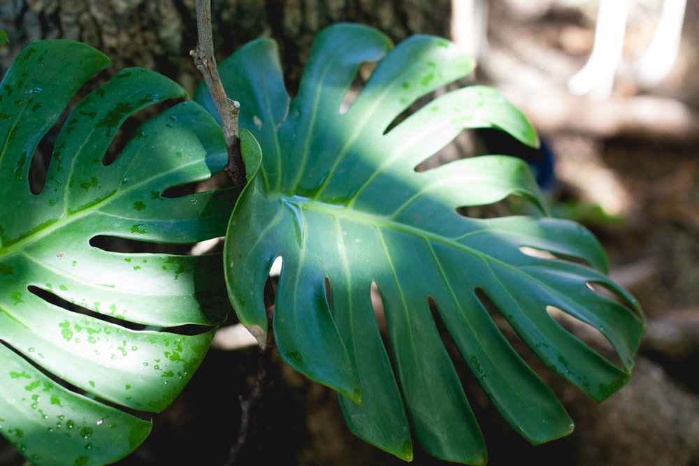 Monstera deliciosa, which some people call the hurricane plant because of its ability to withstand high winds and heavy rain, is native to the forests of Central America.