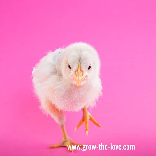 TOO Cute! Random chick pic!  #nospringchicken #growthelove