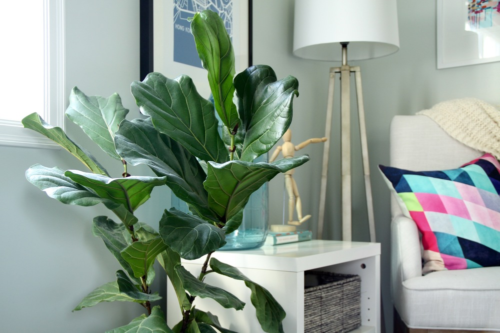 Master Bedroom Fiddle Leaf Fig