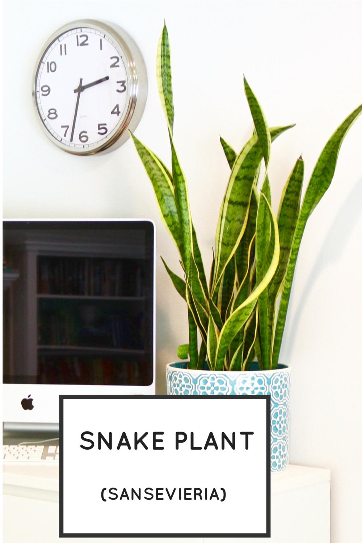 Easy Houseplants: Snake Plant