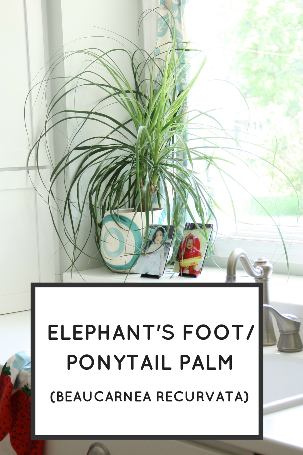 Easy Houseplants: Elephant's Foot/Ponytail Palm
