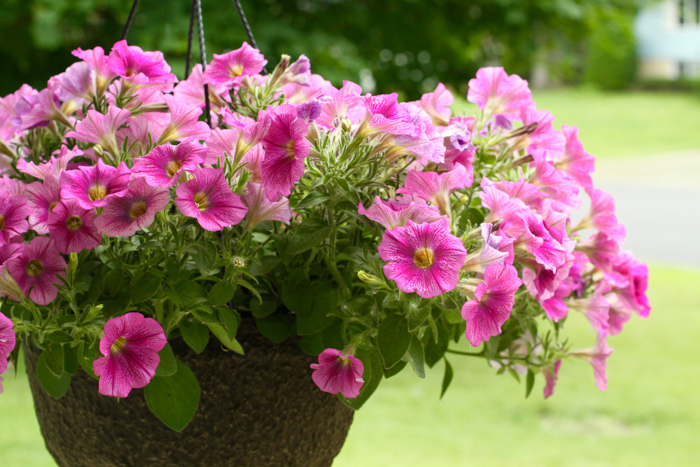 Hanging Basket of Purple Wave Petunias
