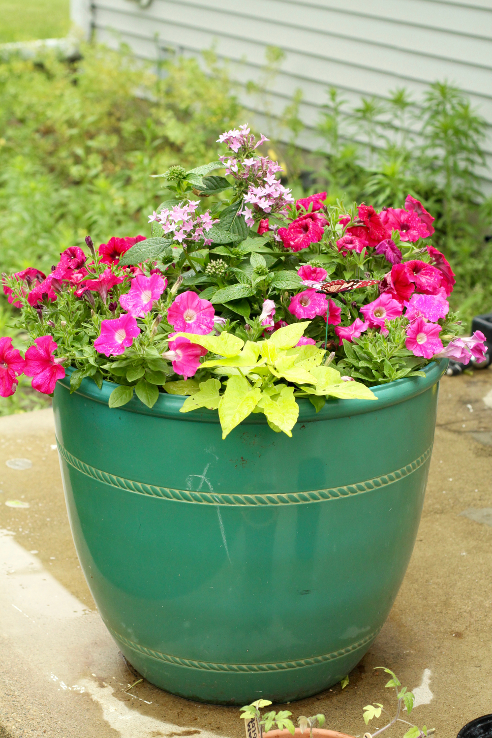 Planter with wave petunias, pentas, sweet potato vine