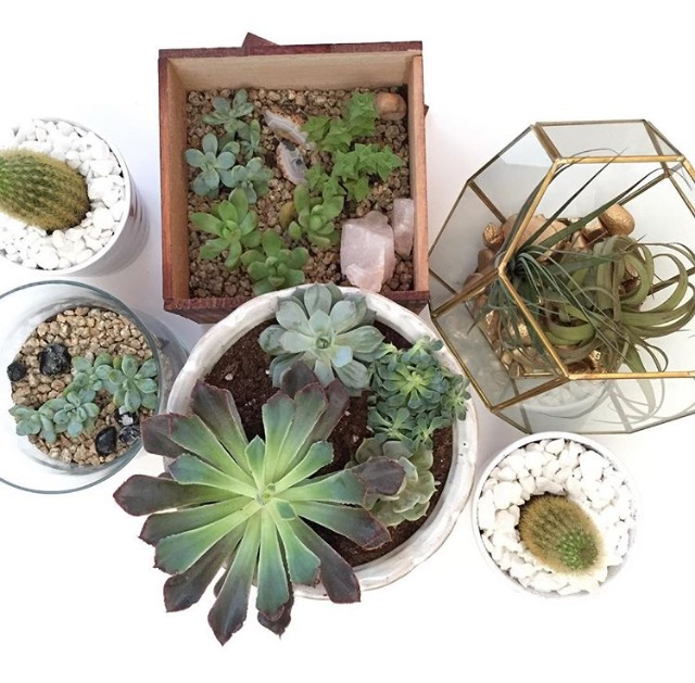 Terrariums / Dish Gardens : succulents, cacti, air plants