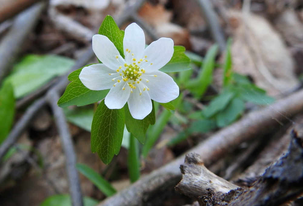 Rue Anemone ( Thalictrum thalictroides )