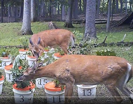 White-tailed deer (Odocoileus virginianus) are monitored while choosing their meal preference Credit: Penn State