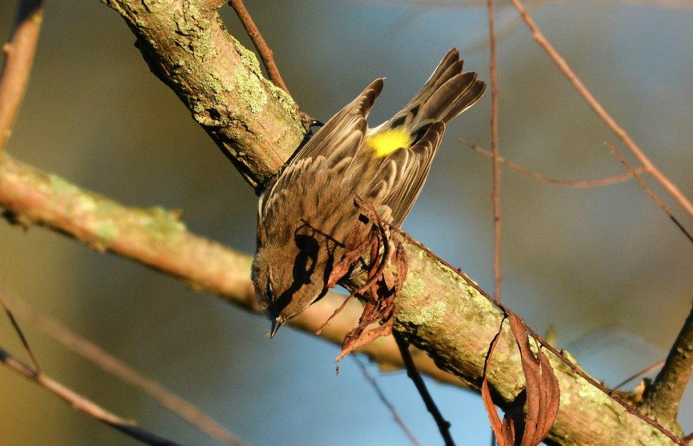 yellow warbler-2.jpg