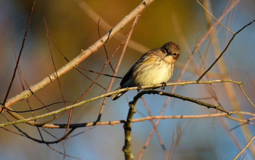 yellow warbler-3jpg.jpg