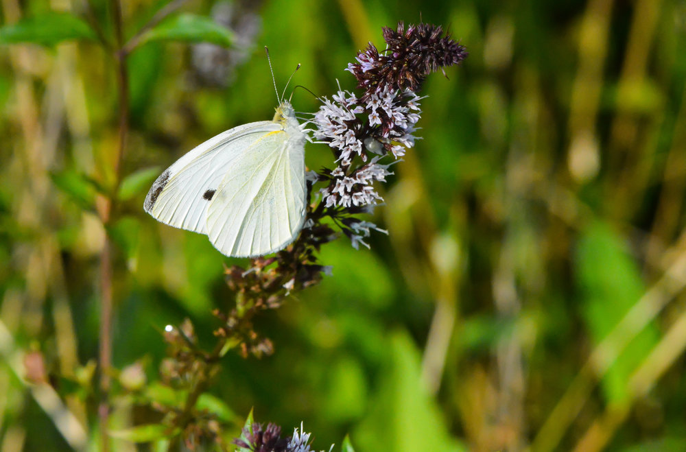 cabbage-white-on-mint.jpg
