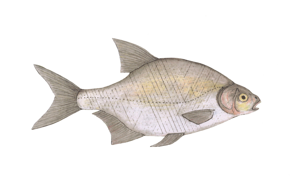 Bream_Dec13.JPG