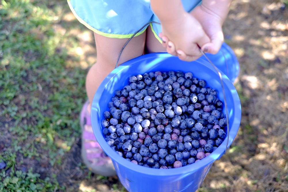 Six quarts of scrumptious blue berries!